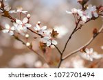 flowering cherry in the sun ... | Shutterstock . vector #1072701494