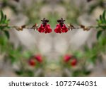 Small photo of Autumn sage, native ornamental plant with scarlet red flowers on a natural springtime background texture.