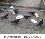 Small photo of Black crows are rummage waste food from the junk.