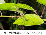 spiny stick insect ... | Shutterstock . vector #1072777844