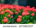spring tulip pictures | Shutterstock . vector #1072802537