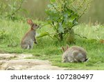 Two Wild Rabbits Eating On A...
