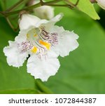 chestnut  white flower  one.... | Shutterstock . vector #1072844387