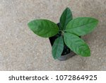 Small photo of Litsea glutinosa is a herb that can be used to make shampoo.