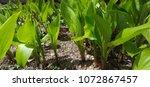 fresh green plants | Shutterstock . vector #1072867457