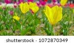 closeup of yellow blooming... | Shutterstock . vector #1072870349
