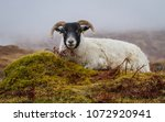 scottish blackface sheep  a... | Shutterstock . vector #1072920941