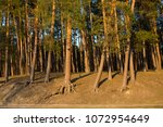 details of nature.sosny with... | Shutterstock . vector #1072954649