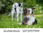 dogs in nature background  | Shutterstock . vector #1072957949