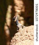 close up of lizard basking on... | Shutterstock . vector #1072978001