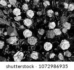 tulips in black and white | Shutterstock . vector #1072986935