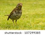 British Song Thrush (Turdus philomelos) with bread in its beak. - stock photo