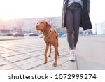 Stock photo the owner walks around the city with a dog of the magyar vizsla breed a beautiful dog walks on a 1072999274