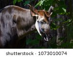 Okapi Licking Its Face With Its ...