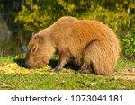 capybara  hydrochaeris...   Shutterstock . vector #1073041181