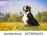 happy bernese mountain dog in... | Shutterstock . vector #1073056451