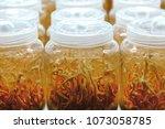 cordyceps sinensis mushroom in... | Shutterstock . vector #1073058785