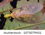macro image of a dobsonfly...   Shutterstock . vector #1073079431