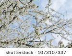 beautiful cherry tree branches... | Shutterstock . vector #1073107337