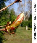 Small photo of budding bud of a horse chestnut (aesculus hippocastanum), family of the sapindaceae
