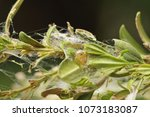 cocoon of the box tree moth... | Shutterstock . vector #1073183087