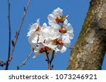 flowers of a cherry tree... | Shutterstock . vector #1073246921