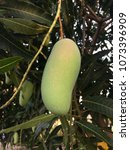 Small photo of Mango tree name Mangifera family Anacardiaceae There are many varieties such as mica, rhinoceros, soft leaves and fruits.