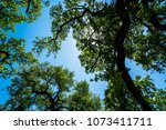 a forest of live live oak trees ... | Shutterstock . vector #1073411711