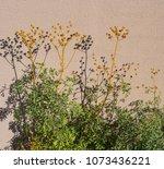 dried seeds of ruta graveolens  ... | Shutterstock . vector #1073436221