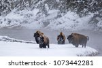 Four Bull Bison In Winter Stea...