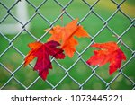 happy canada day  red maple... | Shutterstock . vector #1073445221