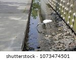 a little egret looking for fish or food in a small pond