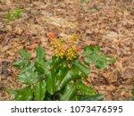 oregon grape  mahonia... | Shutterstock . vector #1073476595