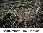 the marsh frog  pelophylax... | Shutterstock . vector #1073496905