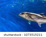 oceanic fish in blue water.... | Shutterstock . vector #1073515211
