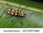 beautiful longhorn beetle from...   Shutterstock . vector #1073597489