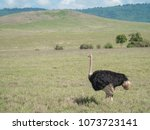 Small photo of ostriches saunter along at Ngorongoro Crater safari, Tanzania