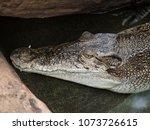 Small photo of Nile crocodile (Crocodylus niloticus).