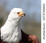 close up of an african sea eagle | Shutterstock . vector #1073740001