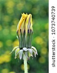 Small photo of Yellow dandelion flowers ,Taraxacum officinal, sping concept
