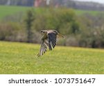 close up of a kestrel in flight | Shutterstock . vector #1073751647
