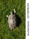 Small photo of Dorris the Tortoise with Three Daisies