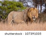 male lion in south africa ... | Shutterstock . vector #107391035