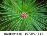 Close Up Of Christmas Pine Fir...