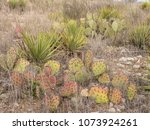 red prickly pear cactus in... | Shutterstock . vector #1073924261