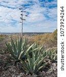century plant in sonora  tx | Shutterstock . vector #1073924264