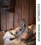 Baby Kangaroo In Artificial...
