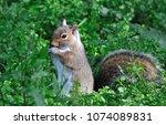 squirrel feeding on the ground | Shutterstock . vector #1074089831