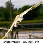 barn owl in flight | Shutterstock . vector #1074093545