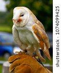barn owl on glove of trainer | Shutterstock . vector #1074099425